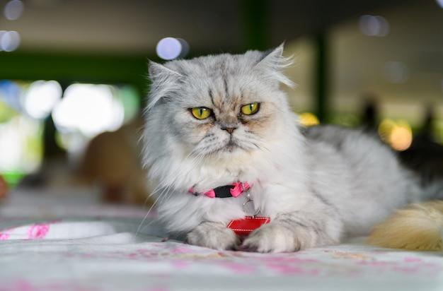 かわいい灰色のペルシャ猫は椅子に座って、
