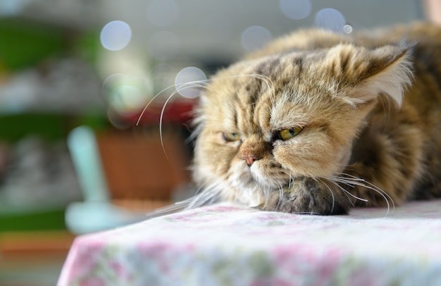 かわいい茶色のペルシャ猫の椅子で寝る