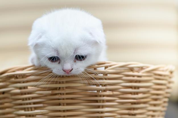 Корзинка милого шотландского вислоухого котенка,