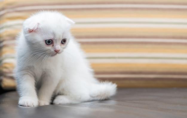 Милый белый котенок шотландской вислоухой, стоя на диване,