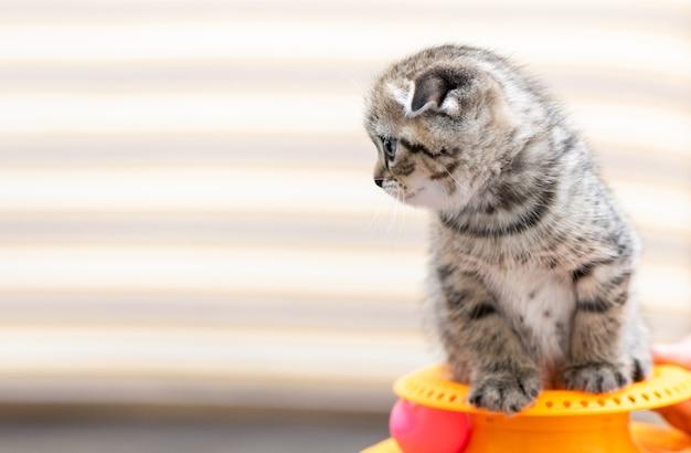 かわいいスコティッシュフォールド子猫がおもちゃで遊んで、