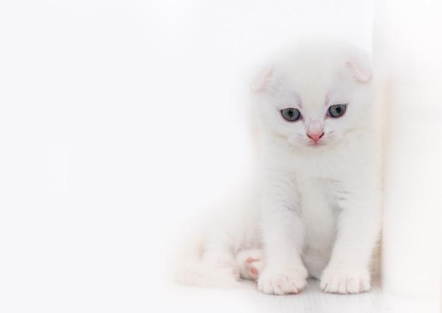 Милый белый котенок шотландской вислоухой, сидя на белом