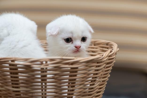 Милый шотландский вислоухий котенок стоит в бамбуковой корзине