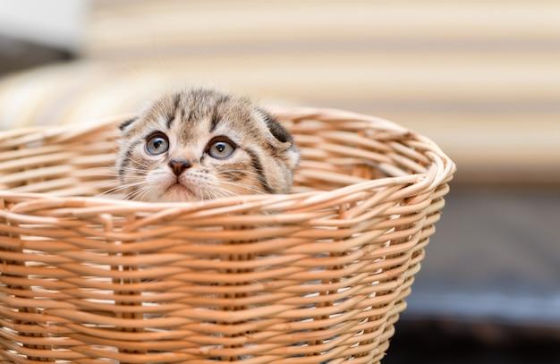 かごの中に立っているかわいいスコティッシュフォールド子猫、