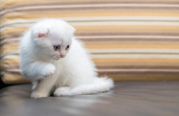 ソファの上に立っているかわいい白いスコティッシュフォールド子猫