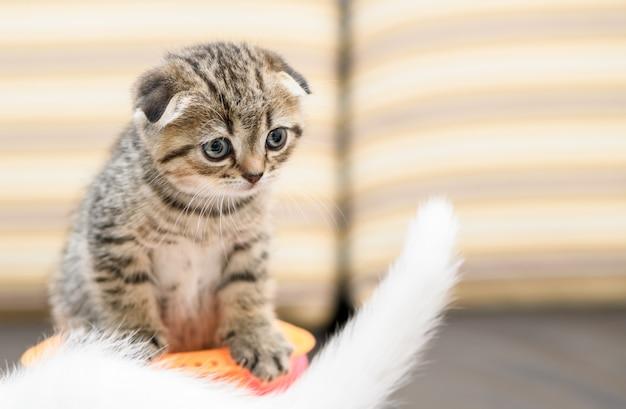 スコティッシュフォールドの子猫と友達がおもちゃで遊んで、
