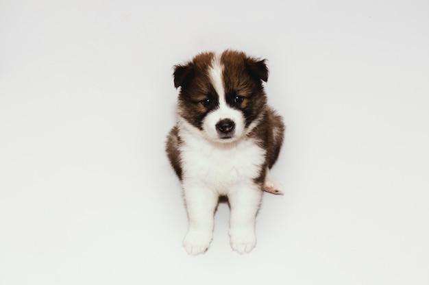 タイバンカオウ子犬