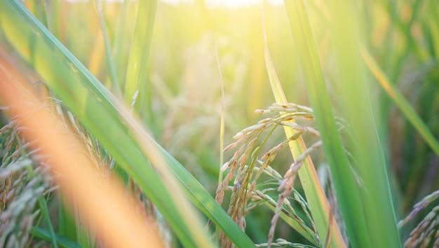 Рисовое поле в восходе солнца