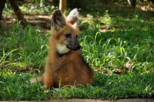芝生の上のタテガミオオカミ