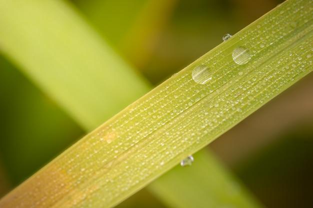 Макрофотография роса на рис листья на рисовых полях. концепция сельского хозяйства или сезона дождей.