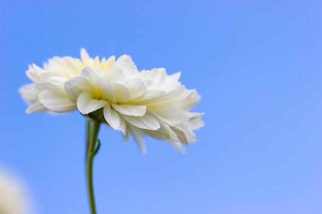 空の青色の背景にクローズアップ単一の白い菊の花
