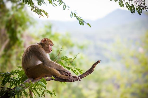 タマリンの枝と山を背景に座っている雄猿。