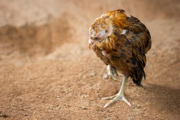 農場で地面に鶏の病気。