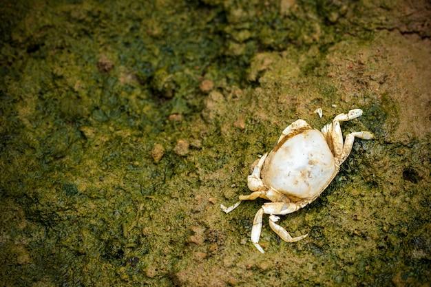泥で死んだカニ。クローズアップとコピースペース。農業における化学物質の使用の影響。