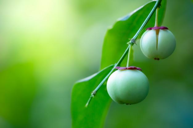 木と朝の日差しにメリエンタスアビスピエールまたはサウロプスアンドロギヌスの果実。