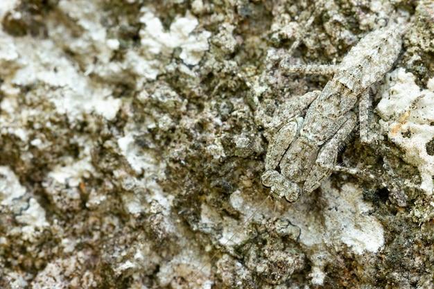 Богомол на скале в тропическом лесу. богомол маскирует или маскирует под камень. крупным планом и копией пространства.