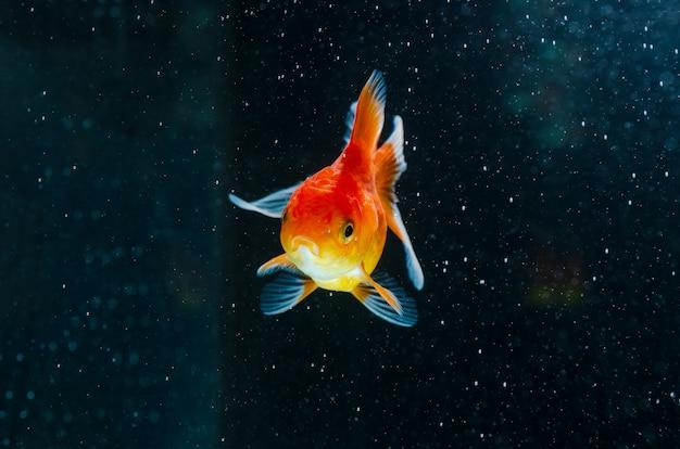金魚の自然の美しい魚