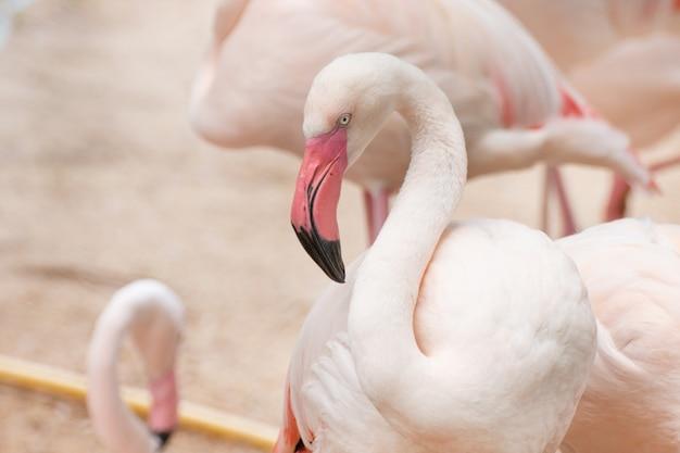 Крупный план фламинго