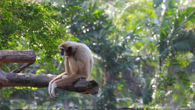木材の上に一人で座っている白い手のギボン