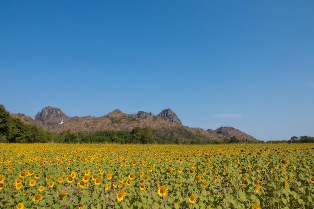 青い空とひまわり畑。