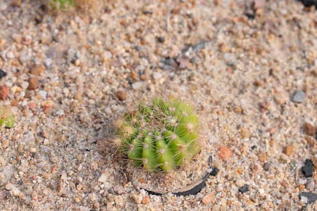 砂の上のサボテンの植物。