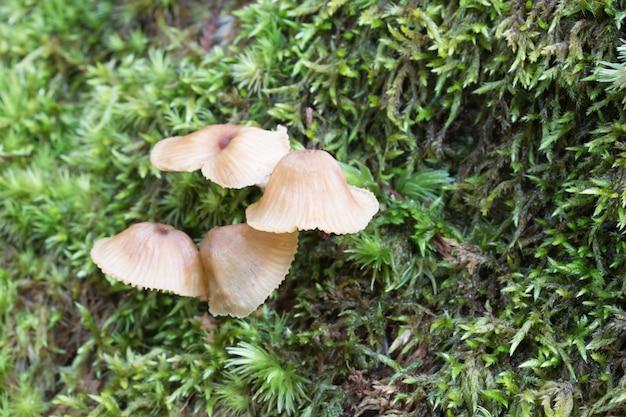緑の苔で成長している小さなキノコ。