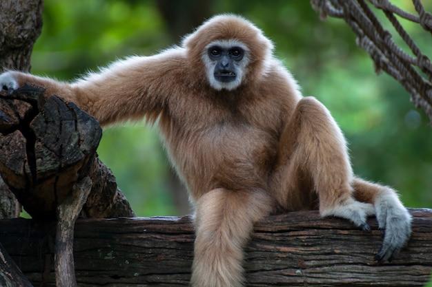 木材の上に一人で座っているシロテテナガザル。