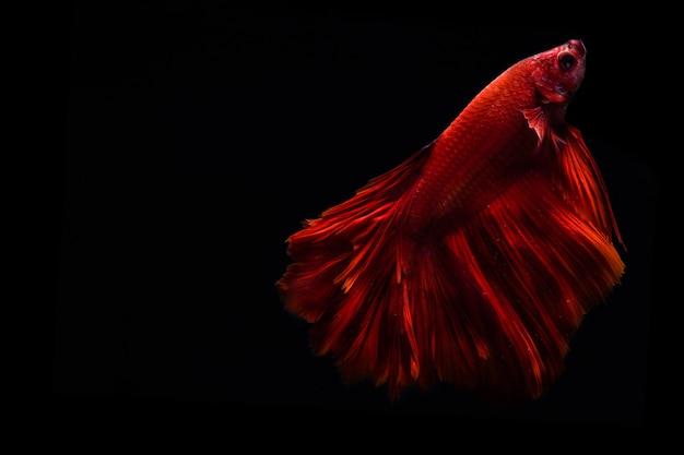 赤いシャムと戦う魚