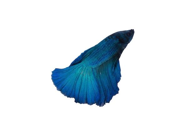 黒と青のサイアム魚を戦う