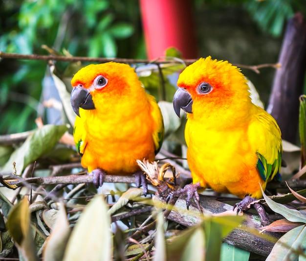 Два попугая солнца