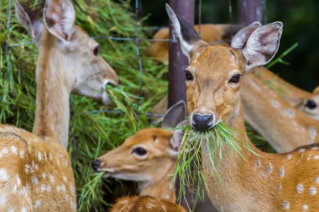 Молодой оленьи олени, едящие травой в парке