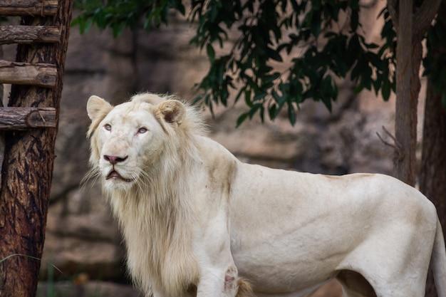 Лев смотрит на еду