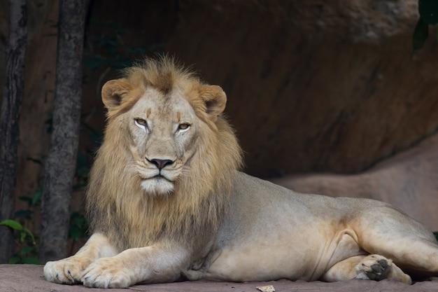 Лев отдыхает и смотрит