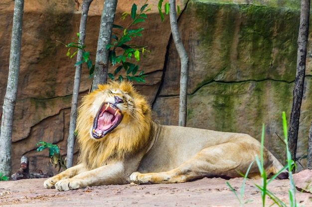 Большой гневный лев, лежащий на скале, природа