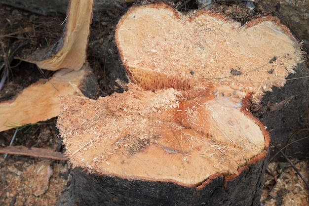 松の木の自然の背景をカット