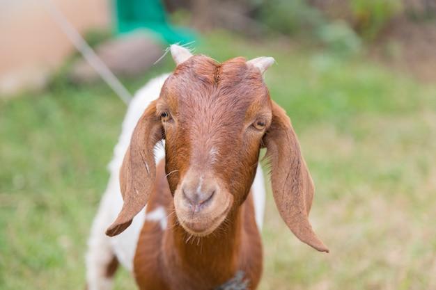 緑色の自然の背景とカメラを見て茶色の素敵なヤギ