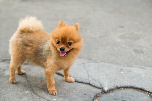 ポメラニアンの犬は通りに立つ