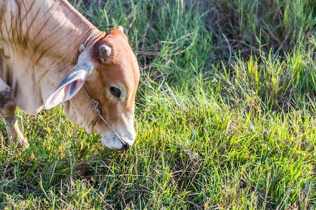 Корова в ферме риса, таиланд