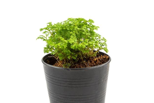白い背景に隔離された黒い鉢の小さなシダ