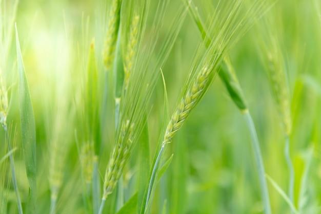 大麦、自然の概念に一種の穀物の緑の背景。
