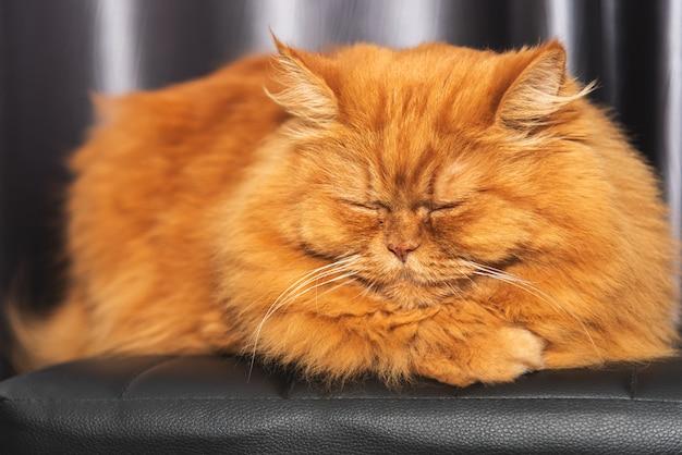 黄金の茶色の毛皮とかわいい猫