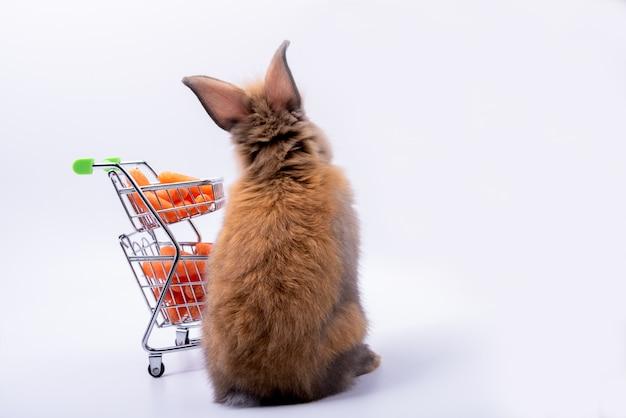 赤ちゃんかわいいウサギの背中には、先の尖った耳、茶色の毛皮、白い背景の上に新鮮なニンジンとカートがあります