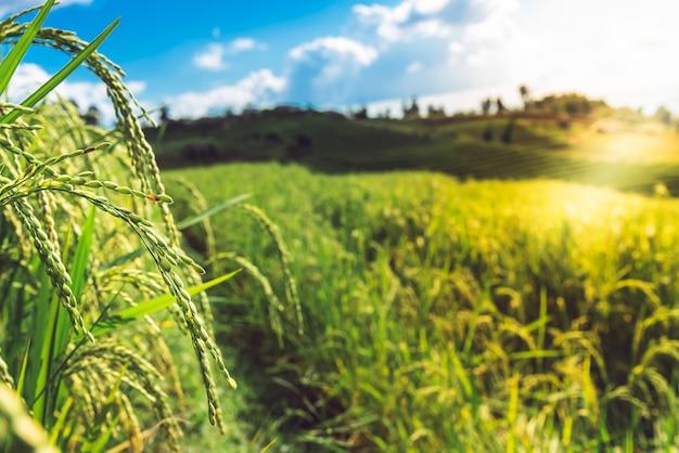 収穫時期近くの水稲と高山で育った水田