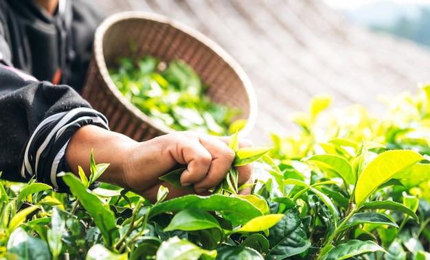 朝、茶の木から葉を収穫している農民