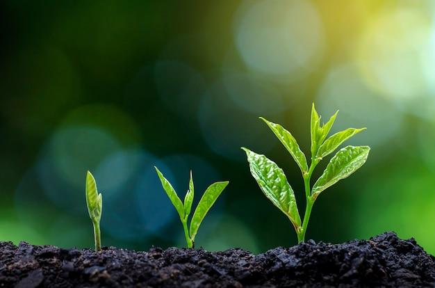 苗の成長の発達朝の光の中で苗を植える