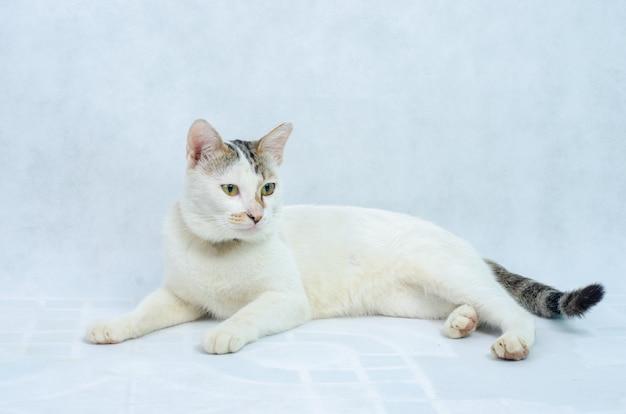 孤立した背景、正面に目を持つ純粋な白猫の白い子猫の肖像画
