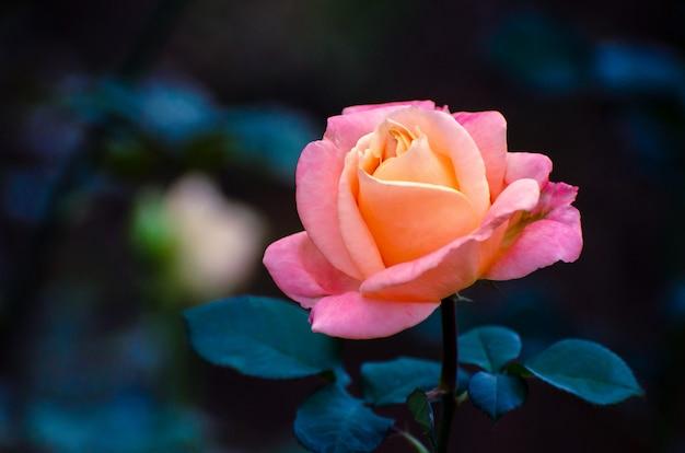 Оранжевые желтые розы синий фон