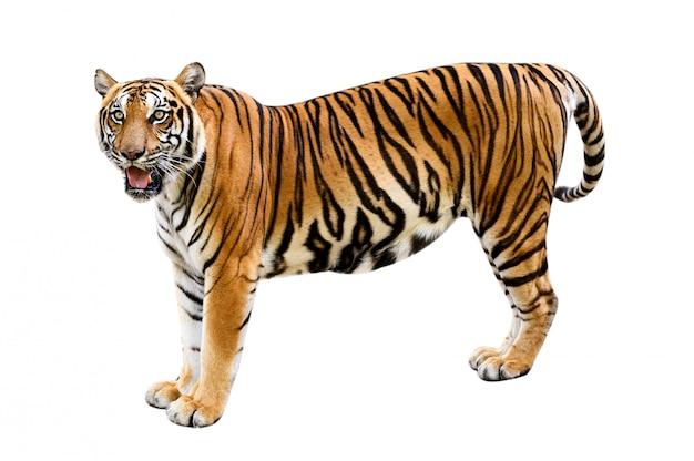 Тигр белый фон изолировать все тело
