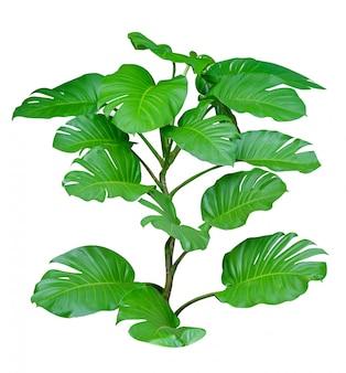 モンステラ葉の白い背景で隔離の葉
