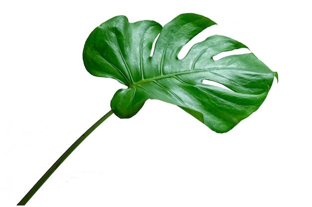 モンステラの葉の白い背景で隔離の葉